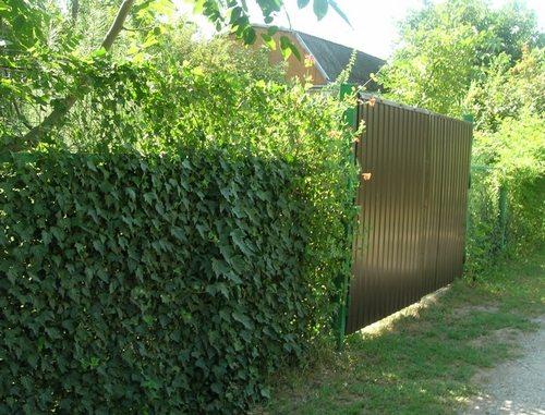 Мечта любого дачника – живая изгородь из вьющихся растений
