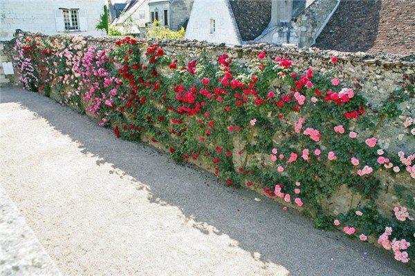 Плетистые розы в озеленении забора
