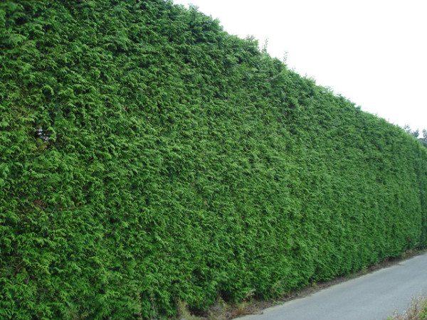 Стриженная зеленая стена из туи