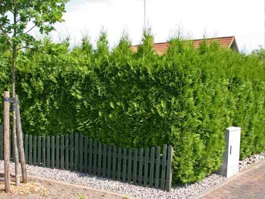 Свободно растущий забор из туи