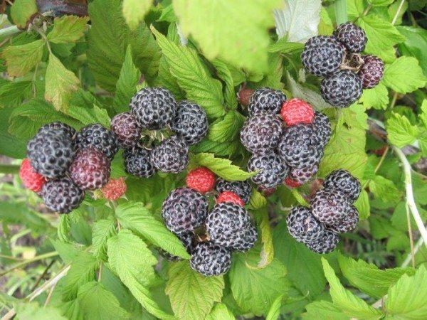 Посадки из малины в качестве плодового живого забора