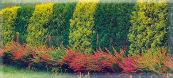 Смешанная живая стена из хвойных и декоративно-лиственных кустарников