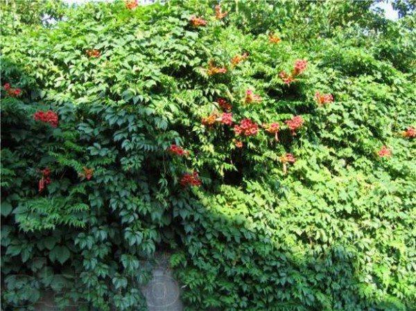 Забор, оформленный кампсисом и девичьим виноградом